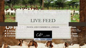 FLOCK & COMMERCIAL ANIMALS - LIVE BROADCAST/FEED - VAT STATUS INDICATED @ DESCRIPTION