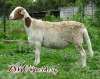 LOT 66 1X MEATMASTER OOI MET LAM/EWE WITH LAMB ZABO MEATMASTERS - 4