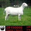 LOT 57 3X MEATMASTER OOIE/EWE COLLEN MEATMASTERS(PER STUK OM LOT TE NEEM/PER PIECE TO TAKE THE LOT)