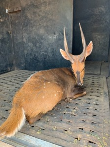 M: 1 F: 2 T: 3 X Bushbuck - Catalogue (Per Piece to take the lot)