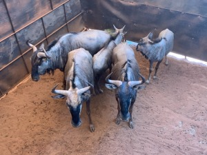 F: 5 T: 5 X Blue Wildebeest (Per Piece to take the lot)